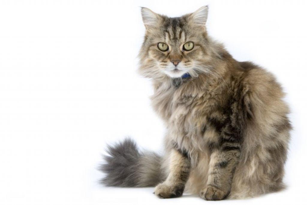 Ragamuffin, o pisica mare si afectuoasa - Veterinarul Pet