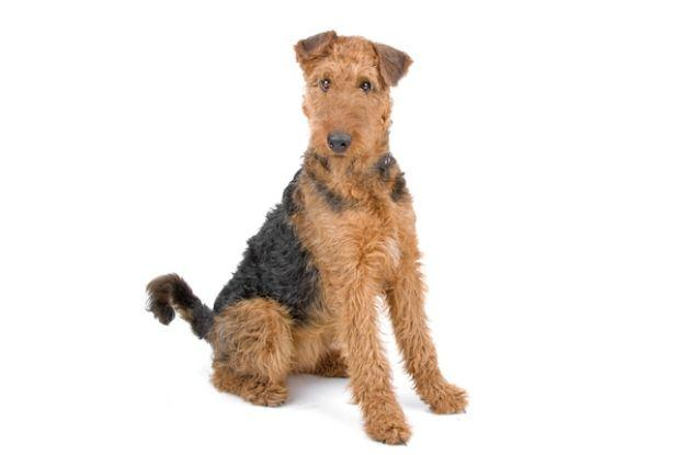 Airedale Terrier, un caine independent si incapatanat