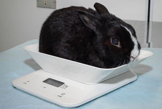 ajutând iepurii să piardă în greutate