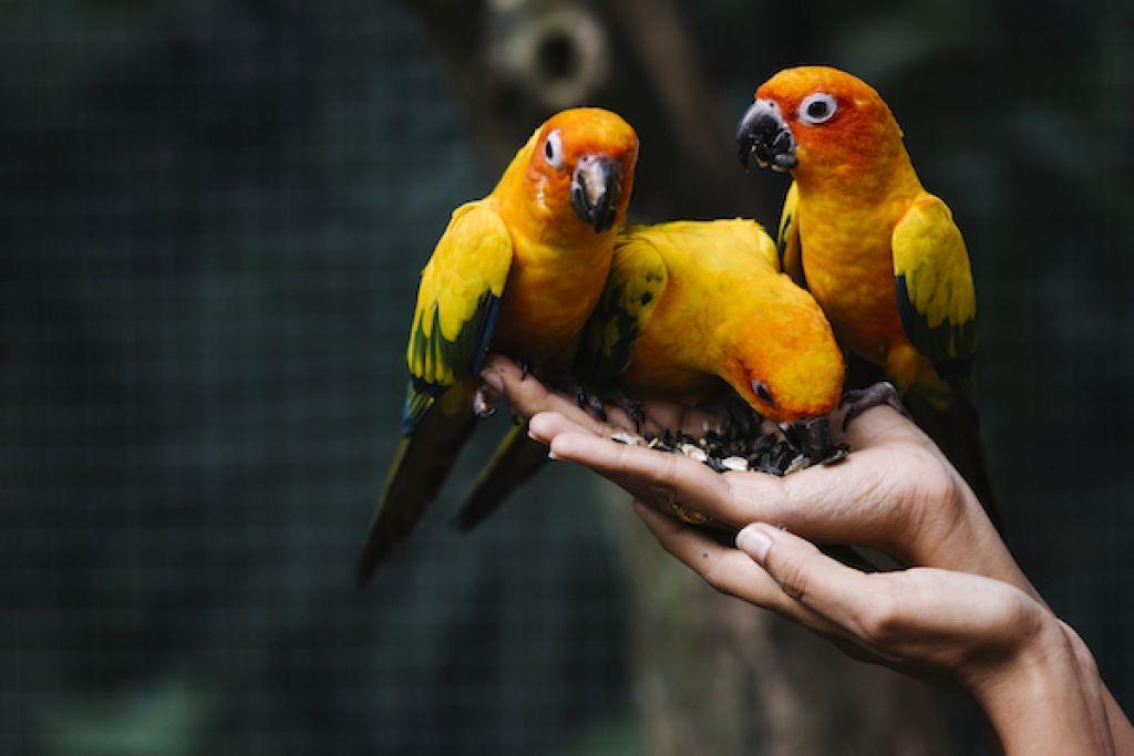 tratamentul artrozei la papagali