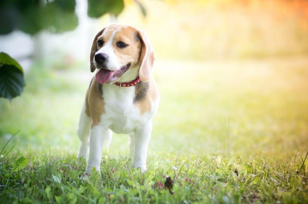 Diaree | Beagle Romania