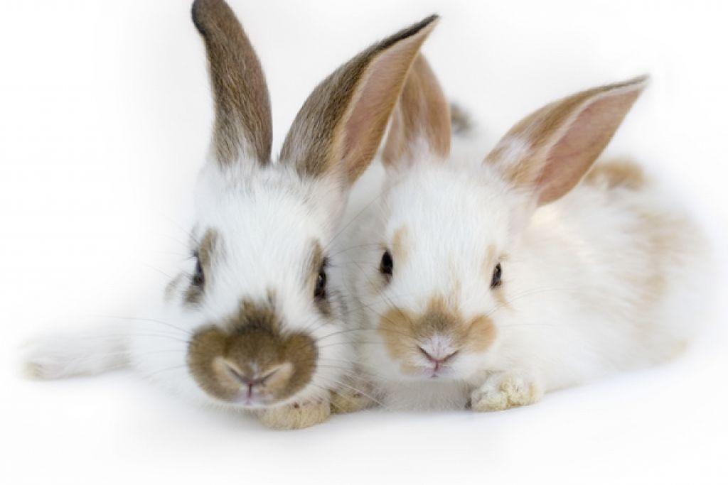 Maturitate sexuala la iepuri