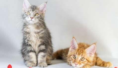 Indicatii pentru cresterea pisicii din rasa Maine Coon