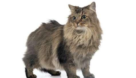 Pisica Siberiana, o pisica dornica de aventura si de joaca
