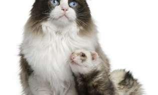 Cum sa faci cunostinta unui dihor cu alte animale de companie din casa