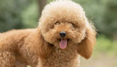 Poodle Toy (Pudel Toy), un catel inteligent, dornic de a face mereu pe plac
