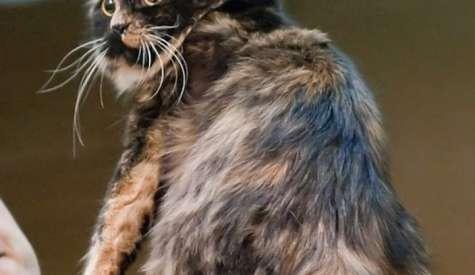 Pisica Cymric, o felina afectuoasa si inteligenta