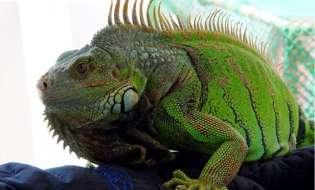 Iguana verde, un animal de companie exotic