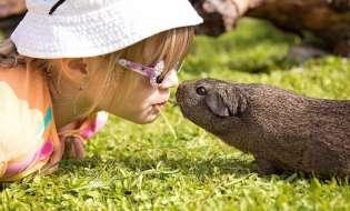Porcusorii de Guineea si copiii