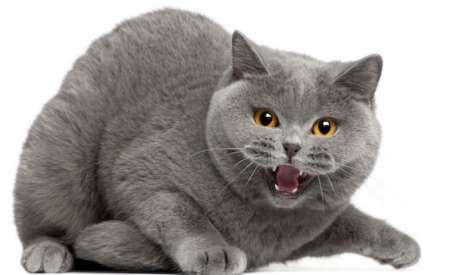 De ce sasaie pisica